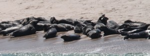 Gray seals hauled out on the beaches of Monomoy