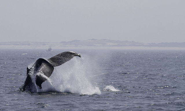 Whales can be spotted from the beaches of Provincetown in the spring.