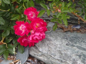 Roses on Rose Island
